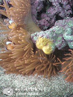 clownfisheggs.jpg