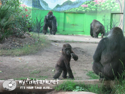 sdzoo-gorillas.jpg