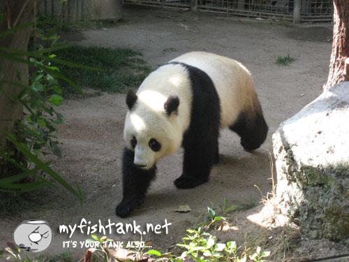 sdzoo-panda.jpg