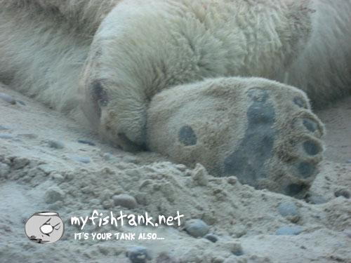 sdzoo-polarbear-paw.jpg