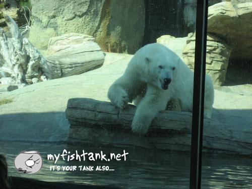 sdzoo-polarbear.jpg