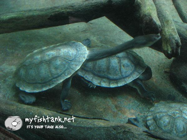sdzoo-turtle-longneck.jpg
