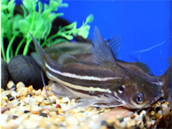 Aquarium puts three rare fish Rare Freshwater Fish