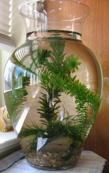 Planted Betta Vase Myfishtank Forum