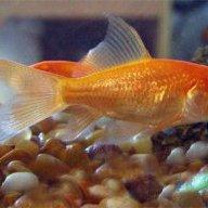 Alma@fish